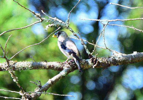 イカル幼鳥1509ab.jpg