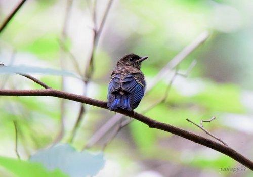 オオルリ幼鳥1606aa.jpg