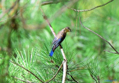 オオルリ幼鳥1609ba.jpg