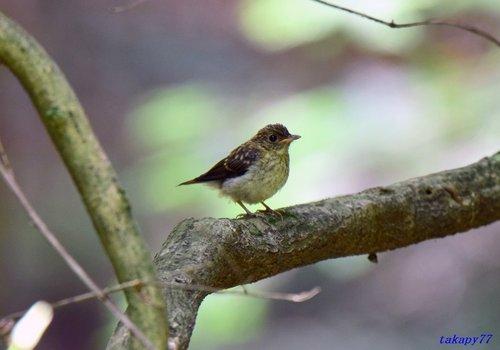キビタキ幼鳥1606aa.jpg