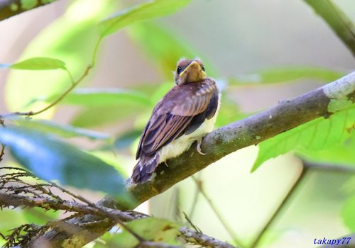 サンコウチョウ幼鳥1606ab.jpg