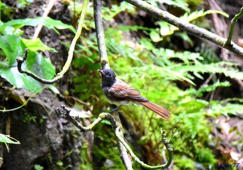 サンコウチョウ幼鳥1707ca35.jpg