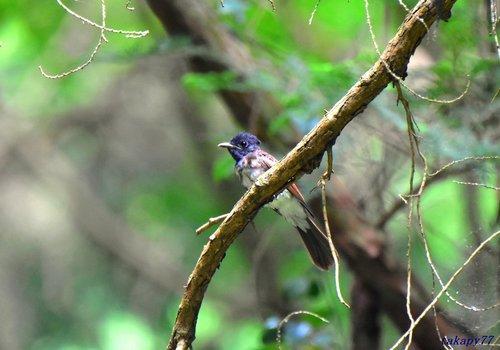 サンコウチョウ幼鳥1707cc35.jpg