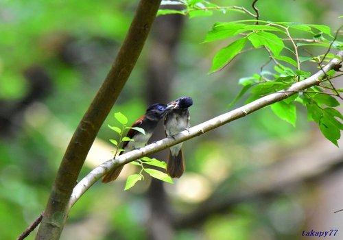 サンコウチョウ幼鳥1707cf45.jpg
