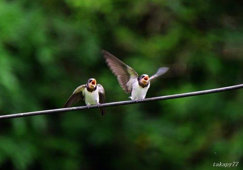 ツバメ幼鳥1606ab.jpg