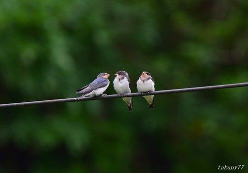 ツバメ幼鳥1606ah.jpg
