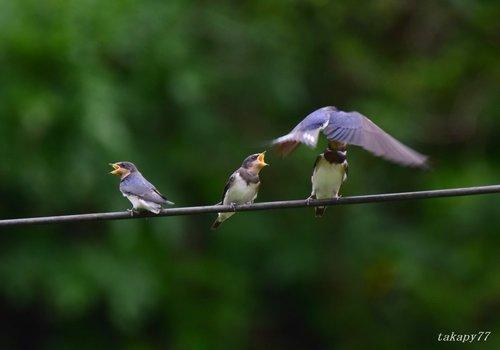 ツバメ幼鳥1606ai.jpg