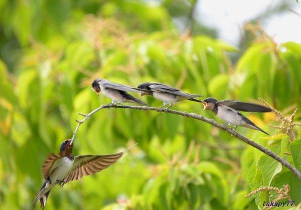 ツバメ幼鳥1806ab57.jpg