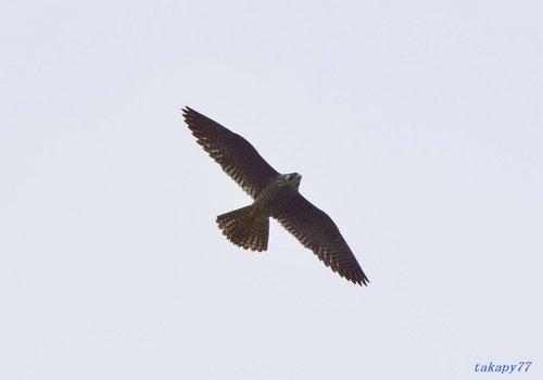 ハヤブサ幼鳥1607ab.jpg