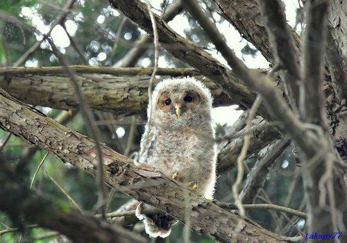 フクロウ幼鳥1706aa57.jpg