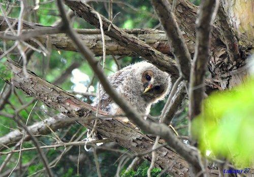 フクロウ幼鳥1706ab45.jpg