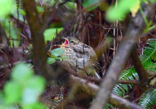 ホオジロ幼鳥1507ab.jpg