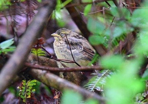 ホオジロ幼鳥1507ac.jpg