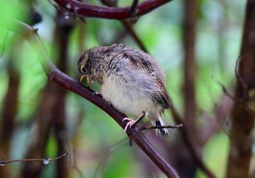 ホオジロ幼鳥1507ae.jpg