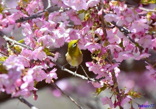 メジロ桜1702ac.jpg