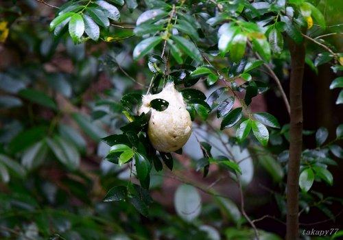 モリアオガエル卵1606aa.jpg