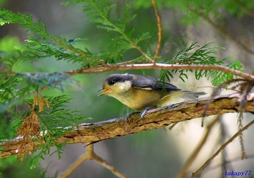 ヤマガラ幼鳥1706aa50.jpg