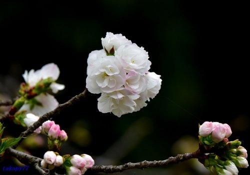 八重桜(白妙)1704aa.jpg