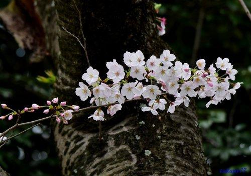 桜1704da.jpg