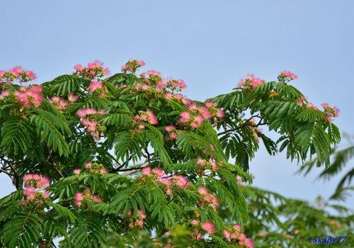 ねむの木1706aa57.jpg