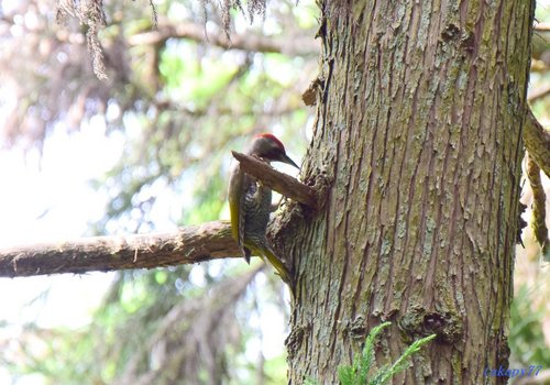 アオゲラ幼鳥1607aa.jpg
