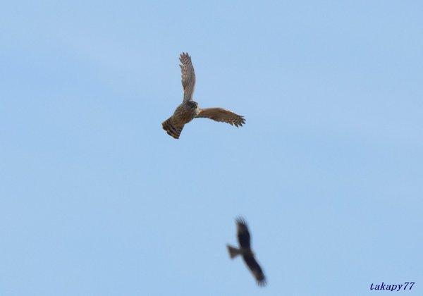 オオタカ幼鳥1811aa25.jpg