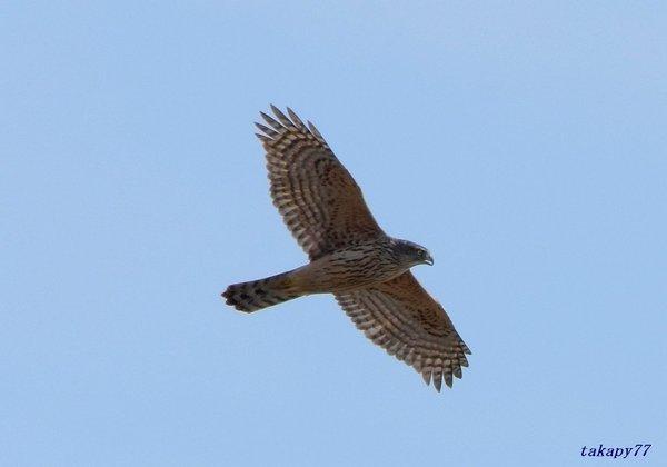 オオタカ幼鳥1811ab16.jpg