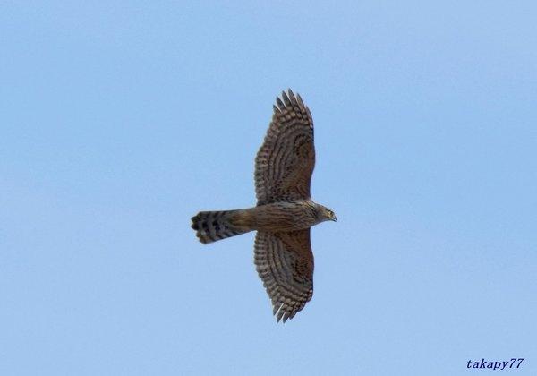 オオタカ幼鳥1811ac20.jpg
