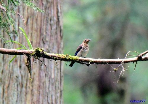 オオルリ幼鳥1607aa.jpg