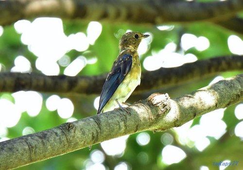 オオルリ幼鳥1609ca.jpg