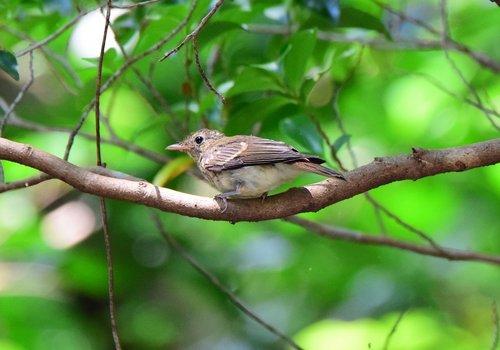 キビタキ幼鳥1508aa.jpg