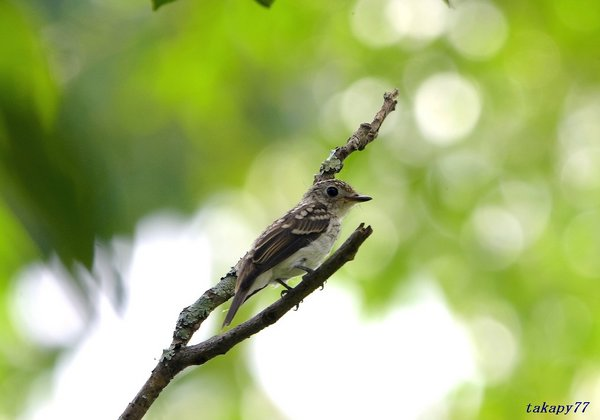 コサメビタキ幼鳥1807ac40.jpg