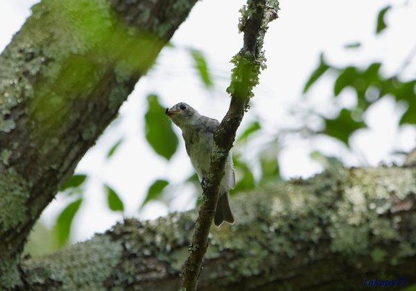 コサメビタキ幼鳥1807ba35.jpg