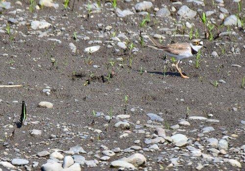 コチドリとアオスジアゲハ1506aa.jpg
