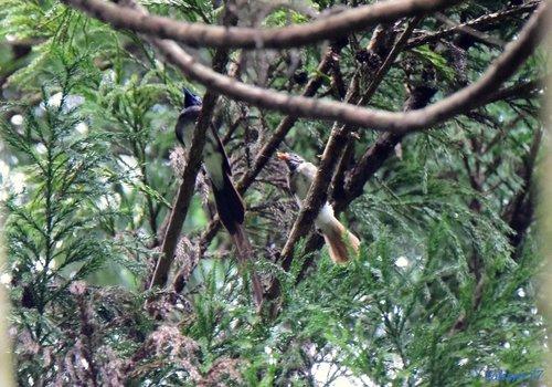 サンコウチョウ雄と幼鳥1607aa.jpg