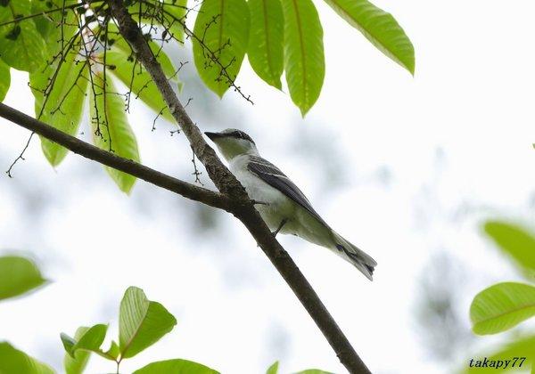 サンショウクイ幼鳥1806ac45.jpg