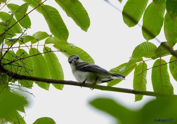 サンショウクイ幼鳥1806ag40.jpg