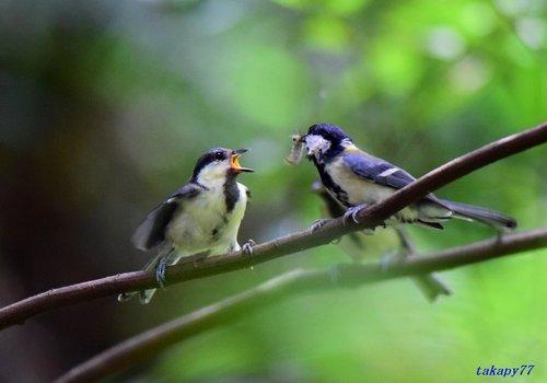 シジュウカラ幼鳥1607aa.jpg