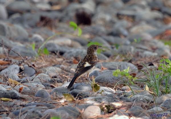 ジョウビタキ幼鳥1908aa40s.jpg