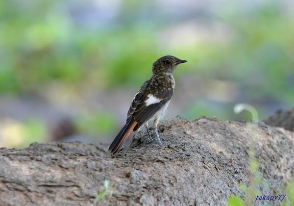 ジョウビタキ幼鳥1908ae50s.jpg