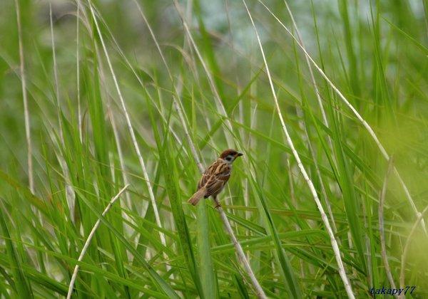 スズメ幼鳥1806aa30.jpg