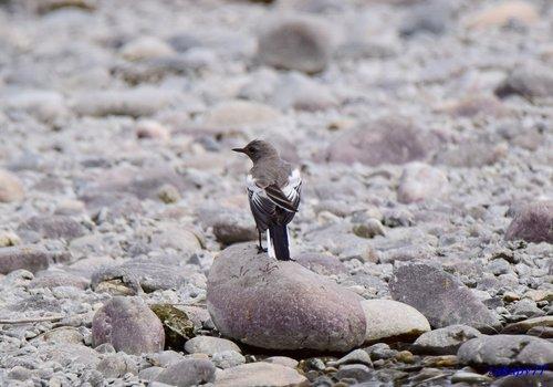 セグロセキレイ幼鳥1606aa.jpg