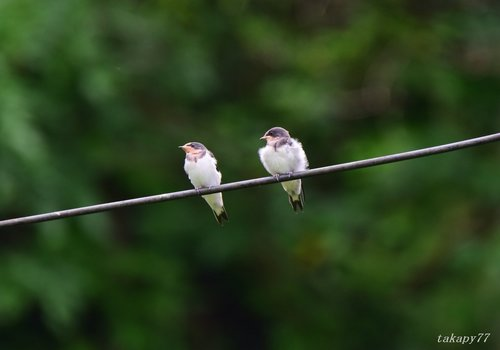 ツバメ幼鳥1606aa.jpg