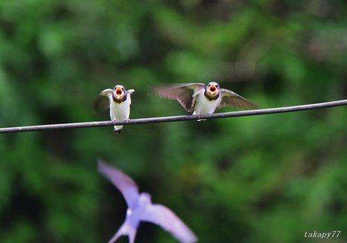 ツバメ幼鳥1606ad.jpg