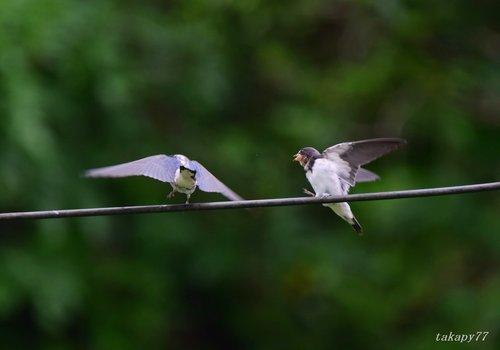 ツバメ幼鳥1606af.jpg