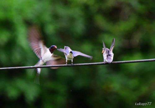 ツバメ幼鳥1606ag.jpg
