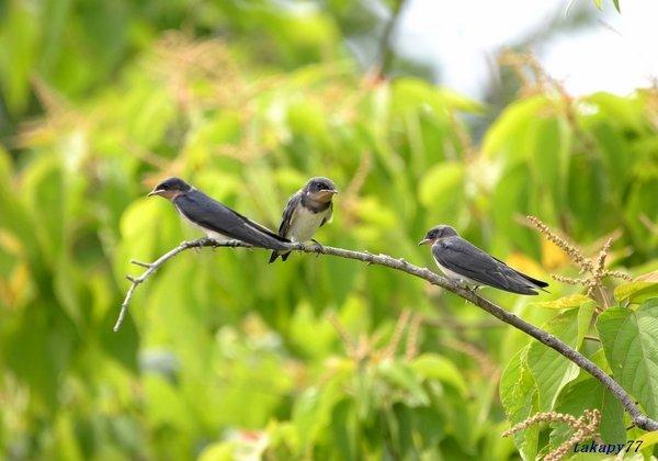 ツバメ幼鳥1806aa57.jpg