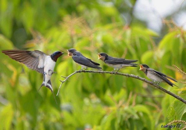ツバメ幼鳥1806ac57.jpg