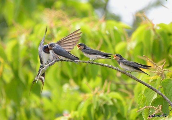 ツバメ幼鳥1806ad57.jpg