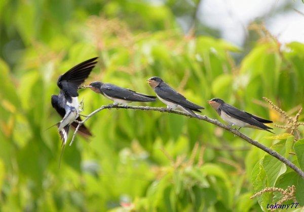 ツバメ幼鳥1806ae57.jpg